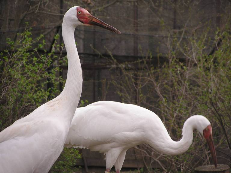 The Splendid Siberian Crane - now believed to be extinct